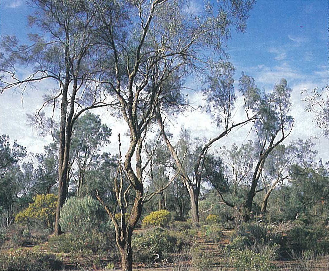 Murray Mallee; Belah woodland. Casuarina pauper woodland with Myoporum platycarpum, and understorey species Hakea leucoptera, Olearia muelleri, Senna artemisioides, Scaevola spinescens. Yarrara, Sunset Country