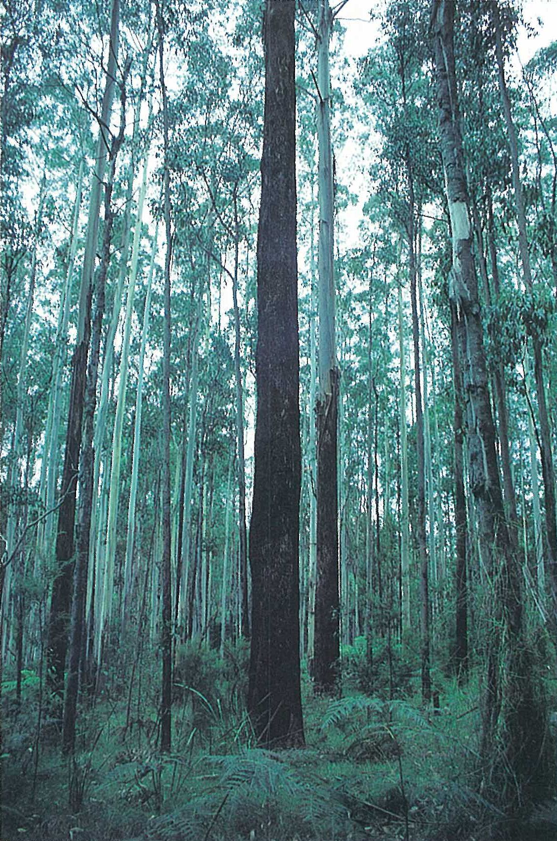 Eastern Highlands; wet sclerophyll forest. Eucalyptus regnans tall open-forest, with E. viminalis open-forest behind. Ground-layer of Lepidosperma elatius, Pteridium esculentum and Tetrarrhena juncea. Ada River area, near Noojee.