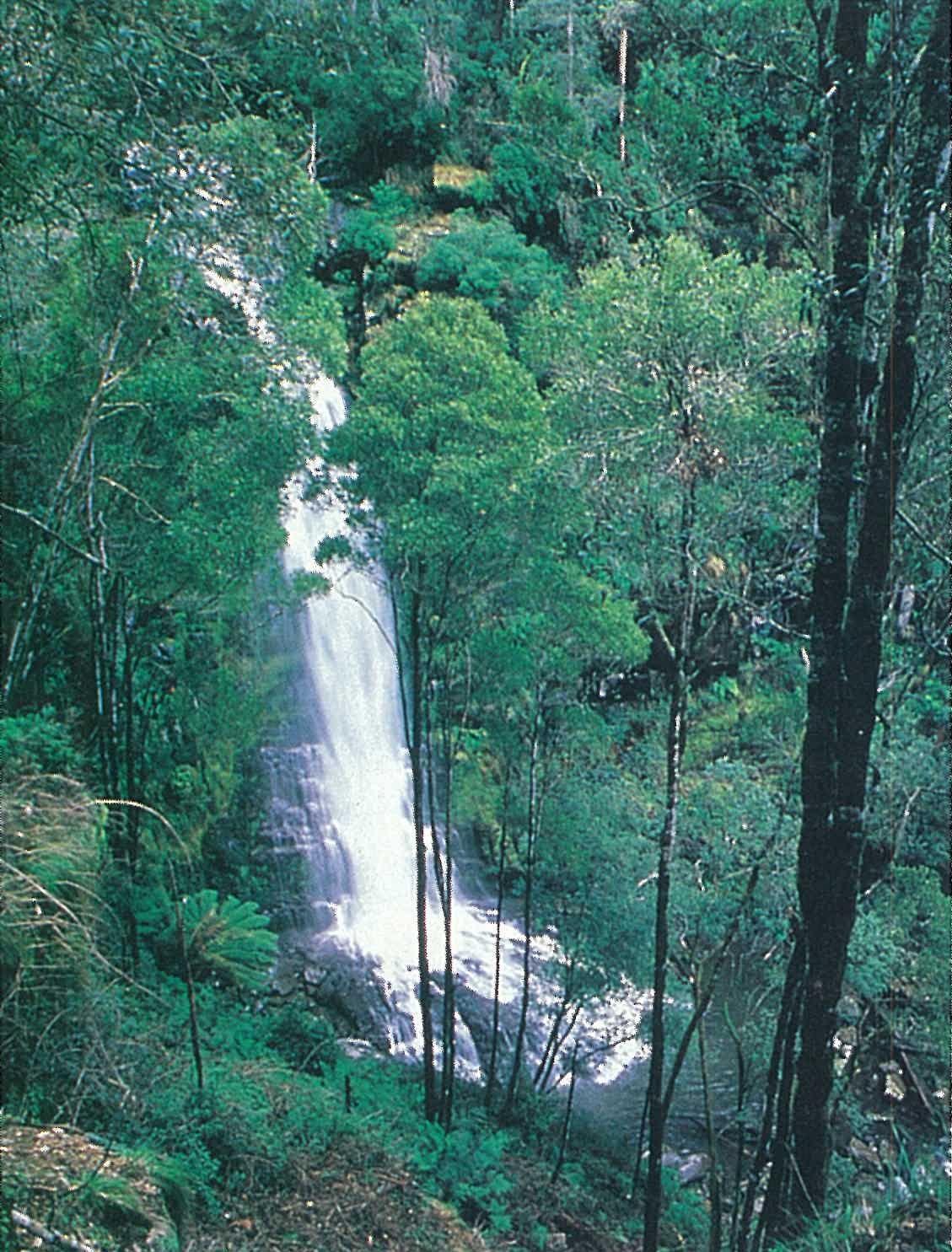 Otway Range; wet sclerophyl forest. Shrub stratum; Acacia melanoxylon, A. dealbata, Dicksonia antarctica, Phebalium squameum and Prostanthera lasianthos. Eucalyptus regnans (not pictured) forms canopy of surrounding forest. Erskine Falls, near Lorne.