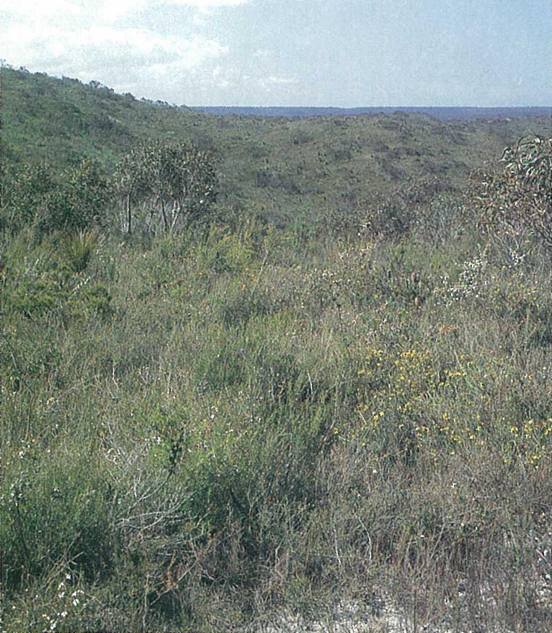 Otway Plain; Leptospermum mysinoides heathland. Shrub-layer of Allocasuarina misera, Aotus myricoides, Banksia marginata, Leptospermum continentale and L. myrsinoides. Eucalyptus willisii an occasional emergent. Xanthorrhoea australis in background. Bald Hills, Anglesea.