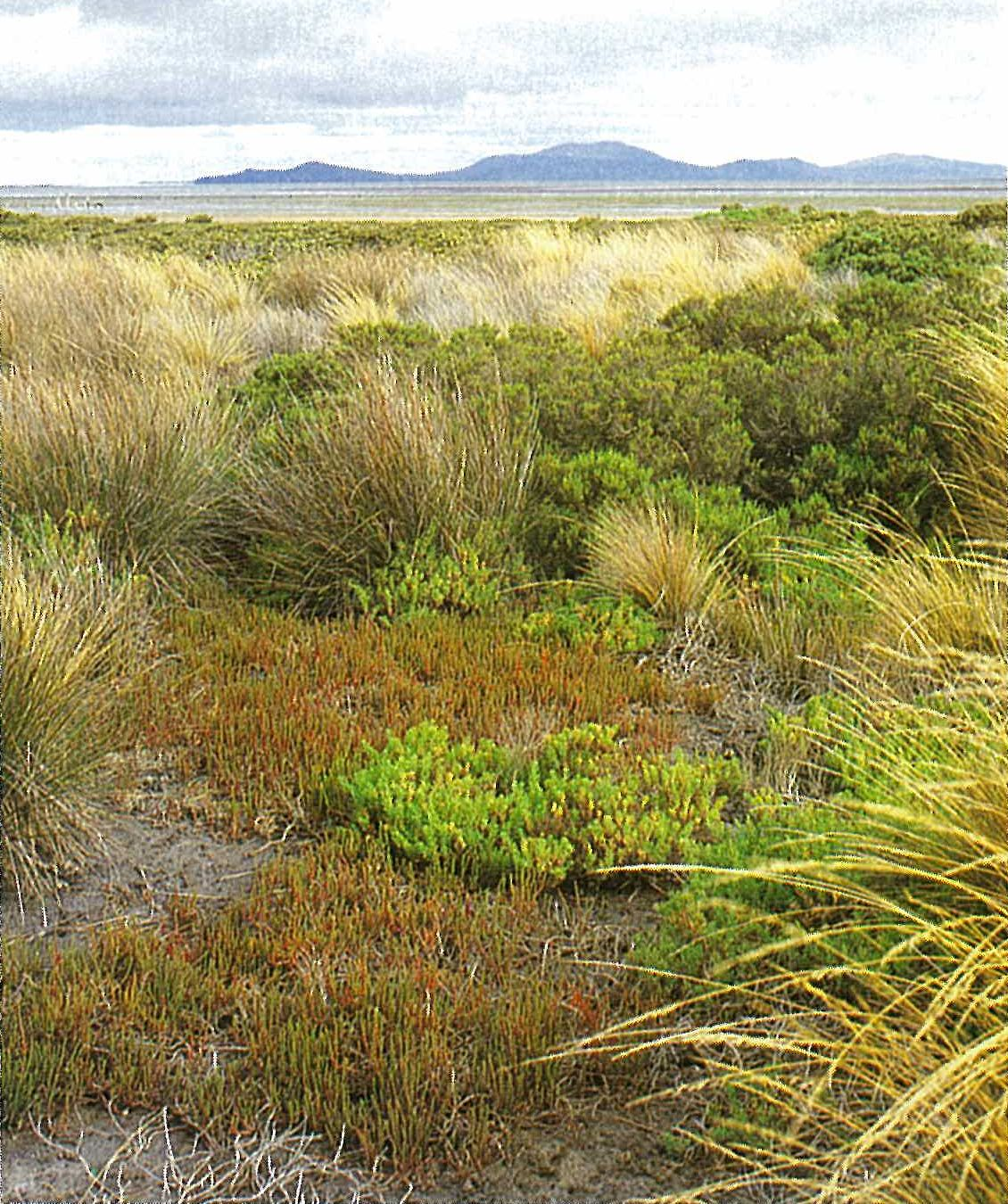 Gippsland Plain; saltmarsh-mangrove. Saltmarsh in foreground with Sarcocornia quinqueflora, Sclerostegia arbuscula and Suaeda australis, merging seaward to Avicennia marina zone, with intervening tussocks of Stipa stipoides and Gahnia trifida. Toora, Corner Inlet (Wilsons Promontory in background).
