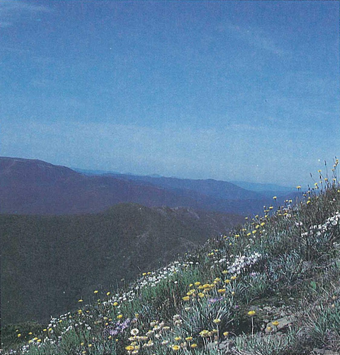 Snowfields; heathland. Open-heath to herbfield on steep rocky slope. Brachyscome spathulata, Craspedia sp., Grevillea australis (sparse), Leucochrysum albicans, Luzula novae-cambriae, Rhodanthe anthemoides and Hypochoeris radicata. Mt Feathertop summit area.