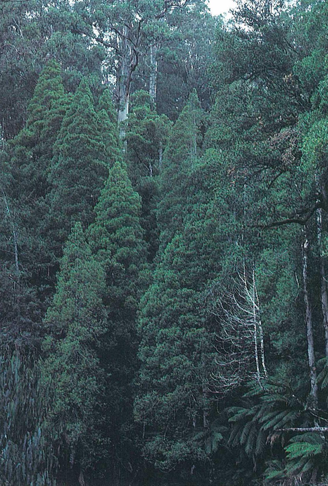 East Gippsland; cool temparate rainforest. Characteristic conical trees of Atherospermum moschatum, with Dicksonia antarctica and Elaeocarpus holopetalus. Eucalyptus denticulata emergent. Errinundra plateau.